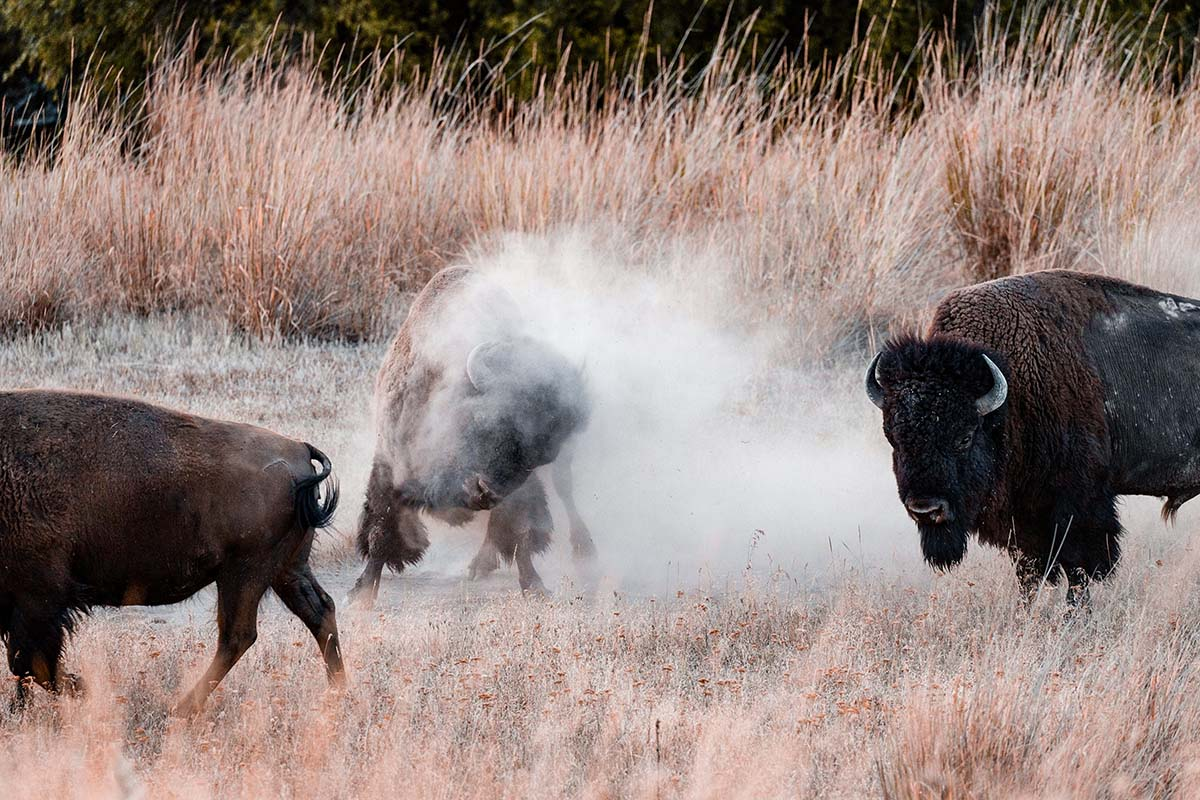 Reporter Deion Broxton's Reaction To These Approaching Bison Is Comedy!